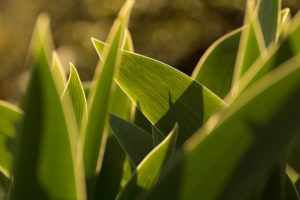 Listy tulipánů - Minimalistický fotoobraz