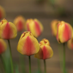Tulipány - Minimalistický fotoobraz