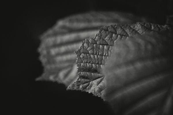 Tři listy - Černobílý minimalistický fotoobraz