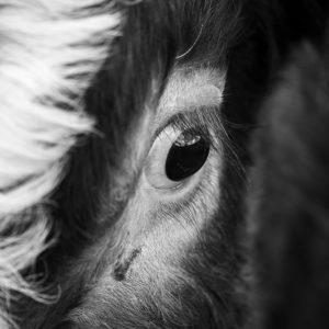 Kraví oko - Černobílý fotoobraz na stěnu