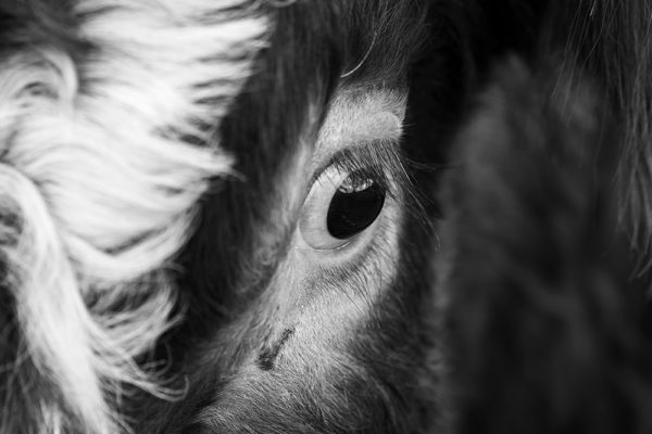 Beautiful Eye of a Cow - Fine Art Photography Print