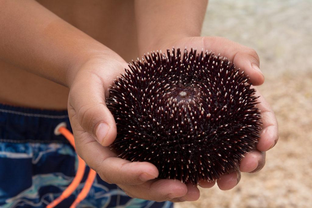 Mořský ježek v rukou dítěte