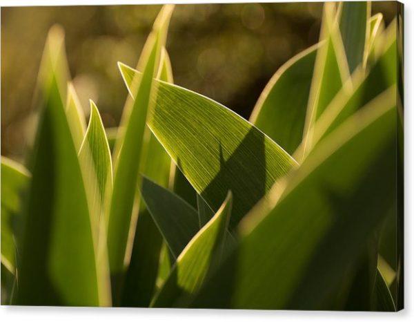 """Minimalistický fotoobraz """"Listy tulipánů"""" na plátně"""