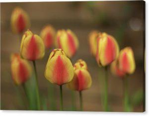 """Minimalistický fotoobraz """"Tulipány"""" na plátně"""